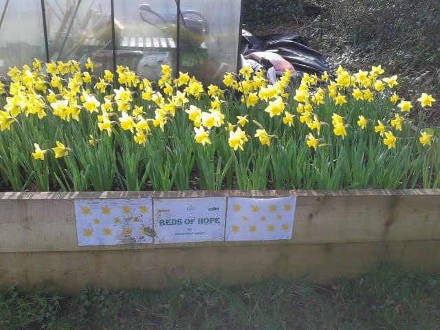 Kelso's daffodils ready for cutting